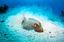 Bluespotted ribbontail ray (Taeniura lymma) foraging in sandy sea bottom to find molluscs or worms.  Egypt, Red Sea.