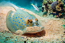 Bluespotted ribbontail ray (Taeniura lymna) digging in the sandy sea bottom for molluscs and worms.  Egypt, Red Sea.