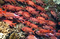 Red soldierfish (Myripristis murdjan) school on wreck.  Egypt, Red Sea.