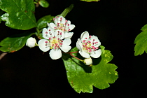 Midland hawthorn (Crataegus laevigata) in flower, Tiddesley Wood Nature Reserve, Worcestershire, England, UK, March.