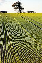 Field of Winter barley (Hordeum vulgare), Norfolk, England, UK, November 2013.