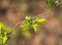 Hawthorn tree leaves (Crataegus laevigata) Hampstead Heath, London, England, UK, March.
