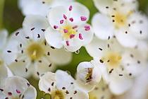 Hawthorn tree flowers (Crataegus laevigata) Hampstead Heath, London, England, UK. May.