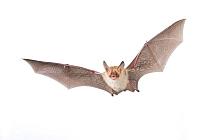Bechstein's bat (Myotis bechsteinii) adult in flight,  Belgium, September. meetyourneighbours.net project