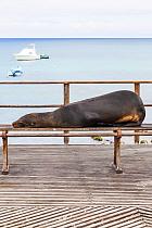 Galapagos sealion (Zalophus californianus wollebaeki) lying on bench. San Cristobal, Galapagos. Ecuador, November.