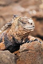 Portrait of Marine Iguana (Amblyrhynchus cristatus) on rocks. San Cristobal, Galapagos, Ecuador. November.