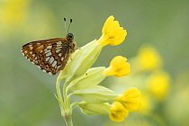 Duke of Burgundy butterfly (Hamearis lucina) resting on foodplant Cowslip (Primula veris), Bedfordshire, England, UK, May