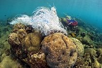 Coral reef covered with discarded plastic bags. Ambon Bay, Ambon, Maluku Archipelago, Indonesia. Banda Sea, tropical west Pacific Ocean.