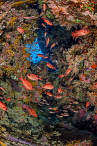 Shoal of a Red Sea soldierfish (Myripristis murdjan) and Sixbar grouper (Cephalopholis sexmaculata) shelter in a coral filled cave. Ras Mohammed National Park, Sinai, Egypt. Red Sea.