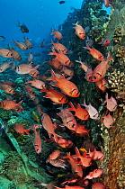 Blotcheye soldierfish (Myripristis murdjan) by wreck of The Barge,  near Bluff Point, Gubal I., Gulf of Suez, Egypt, Red Sea.