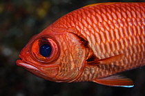 Bigscale Soliderfish (Myripristis berndti) also known as the Blotcheye soldierfish at Hunter Island, also known as Fern or Fearn Island a disputed territory in the South Pacific between New Caledonia...