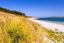 Mustard plant in flower among coastal vegetation, Le Raguenes Plage with Isle Raguenes, Nevez, France. June 2015.