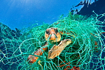 Loggerhead turtle (Caretta caretta) trapped in a drifting abandoned net, Mediterranean Sea. (Winner of the One Earth Award, WPY Competition 2010 )