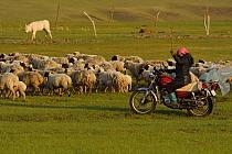Mongolian Shepherd tending her sheep from motorbike, Bayanbulagu Gatcha, grassland steppe, Inner Mongolia, China. May 2016