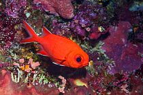 White-tipped soldierfish (Myripristis vittata). North Sulawesi, Indonesia.