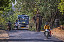 Asian elephant (Elephas maximus) and mahout riding along road with bus and motorbikes, Ranthambore, Rajasthan, India.