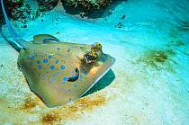Bluespotted ribbontail ray (Taeniura lymma) with Cleaner wrasses (Lutjanus dimidiatus). Similan Islands, Andaman Sea, Thailand.