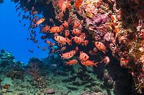 School of Red soldierfish (Myripristis murdjan). Egypt, Red Sea.