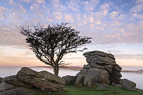 Hawthorn tree and granite outcrop at Holwell tor, sunrise and mist, Dartmoor National Park, Devon, UK. October 2018.