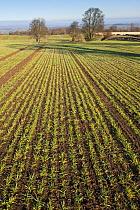 Early Oat fields, Haregill Lodge Farm, Ellingstring, North Yorkshire, England, UK, January