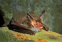 Bechstein's bat (Myotis bechsteinii) resting with open mouth. West Wales, UK.