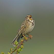 Corn bunting (Emberiza calandra) singing, perched on branch. Denmark, May.