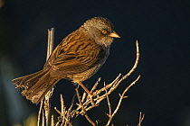 Volcano junco (Junco vulcani) found only, highlands of the Talamanca mountain range, Costa Rica. Endemic.