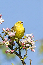 Yellowhammer (Emberiza citrinella) in singing in blossoming tree, Norfolk, England, UK. April