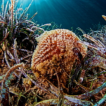 Noble pen shell (Pinna nobilis) is the largest bivalve in the Mediterranean. It is mostly found in seagrass meadows (Posidonia oceanica). National Marine Park of Alonissos Northern Sporades, Greece