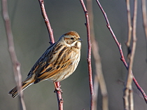 Reed bunting (Emberiza schoeniclus) female perched in a bush in winter sunshine, RSPB Otmoor, Oxfordshire, UK, January.