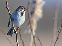 Reed bunting (Emberiza schoeniclus) male perched in a bush near reed beds in winter sunshine, RSPB Otmoor, Oxfordshire, UK, January.