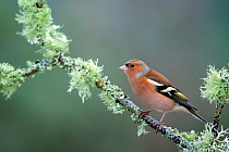 Chaffinch (Fringilla coelebs) male resting on lichen clad branch, Cairngorms National Park, Scotland, UK. January.