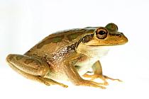 Motorbike frog (Ranoidea moorei) portrait on white background. Herdsman Lake, Perth, Western Australia. November.