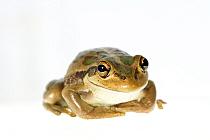 Motorbike frog (Ranoidea moorei) on white background. Herdsman Lake, Perth, Western Australia. November.