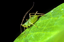 Pea aphid (Acyrthosiphon pisum) apterous adult female pest with long antennae on a pea leaf