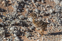 Northern black korhaan (Afrotis afraoides) chick camouflaged, Kgalagadi Transfrontier Park, South Africa.