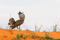 Kori bustard (Ardeotis kori) displaying, Kgalagadi Transfrontier Park, South Africa.