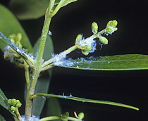Secretions of Olive psyllid (Euphyllura olivine) on Olive (Olea europaea) leaves and twigs. Greece.