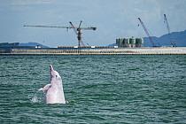 Indo-Pacific humpback dolphin (Sousa chinensis) Tai O, western side of Lantau Island, Hong Kong, China