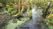 Swamp Woodland in the Avalon Marshes, a large area of wetland habitats, part of the Somerset Levels near Glastonbury, Somerset, UK. Extensive peat diggings have filled with water and become colonised...