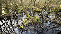 Swamp woodland growing in the Avalon Marshes, a large area of wetland habitats, part of the Somerset Levels near Glastonbury, Somerset, UK. Extensive peat diggings have filled with water and become co...
