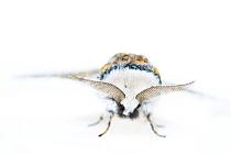 Sallow kitten moth (Furcula furcula). De Kaaistoep Nature Reserve, Tilburg, The Netherlands. June. Controlled conditions.