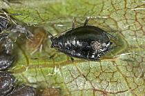 Photomicrograph black cherry aphid or cherry blackfly (Myzus cerasi) infestation on wild cherry leaf, Berkshire, England, UK, May