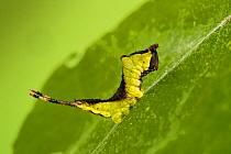 Puss moth, ( Cerura vinula) third instar caterpillar, on Sallow. Wales, UK.