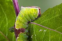 Puss moth, ( Cerura vinula) late stage caterpillar, on Sallow. Wales, UK.