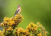Common chaffinch (Fringilla coelebs) male singing from flowering gorse bush (Ulex). Suffolk, UK. May.