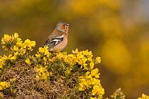 Chaffinch (Fringilla coelebs) male singing from flowering gorse (Ulex) bush. Suffolk, England, UK. March