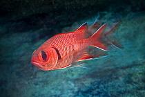 Crimson soldierfish (Myripristis murdjan) Green Island, Taiwan.