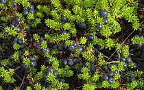 Black crowberry (Empetrum nigrum) with fruit. Kalajoki, Finland. August.