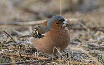 Chaffinch (Fringilla coelebs) male feeding with seed in beak. Kuusamo, Finland.